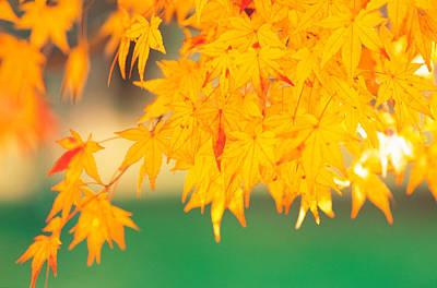 Yellow Maple Leaves, Autumn Art Print