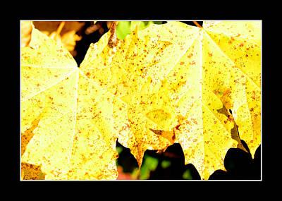 Yellow Maple Leaves Original