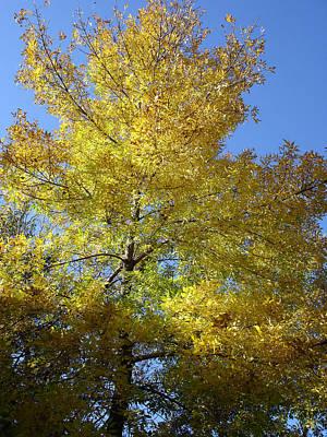 Yellow Maple Tree Art Print by Michel Mata