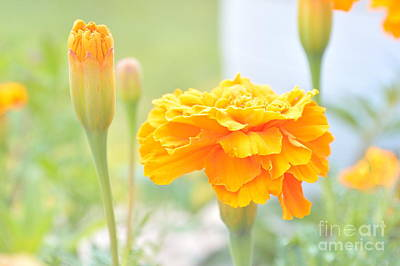 Photograph - Yellow Marigolds In A Morning Garden by Ioanna Papanikolaou