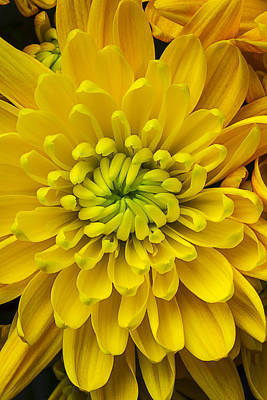 Yellow Mum Art Print by Garry Gay