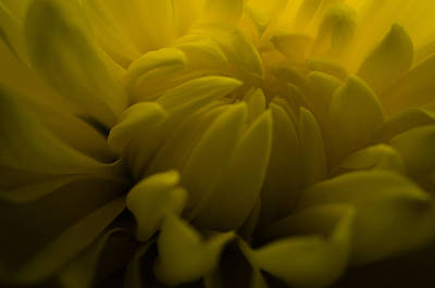 Photograph - Yellow Mum by Jim Shackett