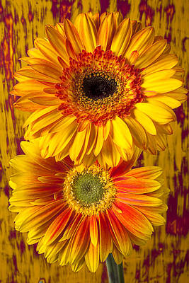 Gerbera Daisy Photograph - Yellow Mums Together by Garry Gay