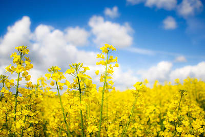 Photograph - Yellow Mustard Field by Nila Newsom