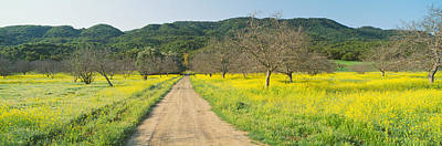 Ojai Wall Art - Photograph - Yellow Mustard, Upper Ojai, California by Panoramic Images