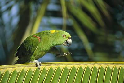 Yellow-naped Parrot  Amazon Brazil Art Print by Konrad Wothe