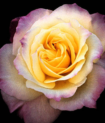 Photograph - Yellow New Rose  by Robert Lozen