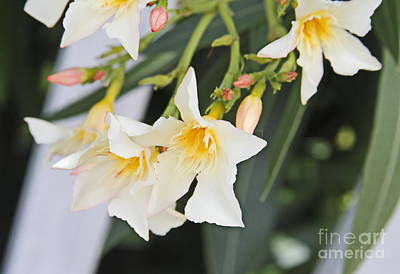 Pink Flowers Photograph - Yellow Oleander by Cathy Lindsey