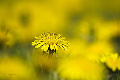 Rollos Photograph - Yellow On Yellow Dandelion by Christina Rollo