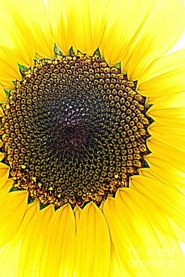 Kim Fearheiley Photography - Sunny And Bright Sunflower by Eunice Miller