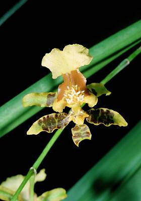 Peru Photograph - Yellow Orchid by Paul Harcourt Davies/science Photo Library