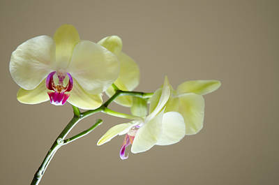 Photograph - Yellow Orchids by Ben Spencer