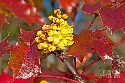 Photograph - Yellow Oregon Grape Mahonia Aquifolium Flower Art Prints by Valerie Garner