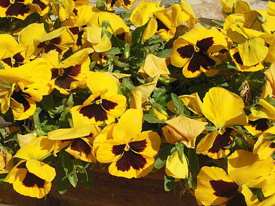 Photograph - Yellow Pansies Ease The Heart by Esther Newman-Cohen