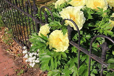 Photograph - Yellow Peony Bush And An Iron Fence by Rod Ismay