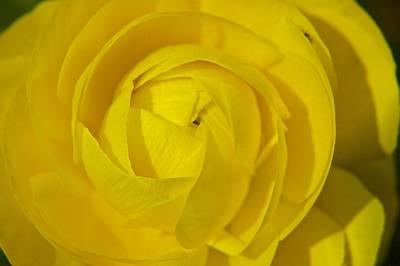 Yellow Peony Art Print by Sharin Gabl