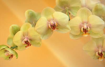 State Love Nancy Ingersoll - Yellow Phalaenopsis by Kathy Yates