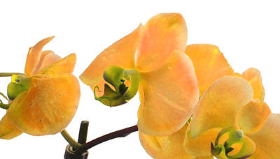 Photograph - Yellow Phalaenopsis Orchid by Bill Swartwout Fine Art Photography