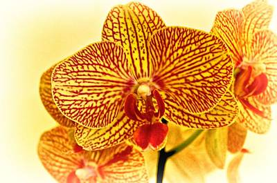 Photograph - Yellow Phalaenopsis Orchid by Kristina Deane