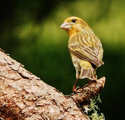 Photograph - Yellow-phased House Finch by VLee Watson