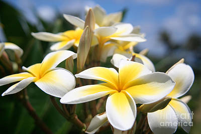 Photograph - Yellow Plumeria by David Lee