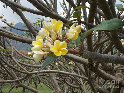 Photograph - Yellow Plumeria  by Mindy Sue Werth
