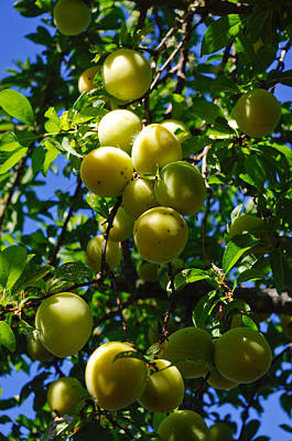 Photograph - Yellow Plums In The Sun by Adria Trail