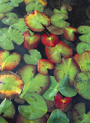 Yellow Pond Lily Floating Art Print by Tim Fitzharris