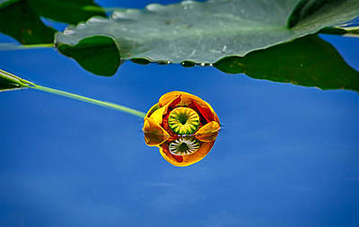 Photograph - Yellow Pond Lily by Greg Norrell