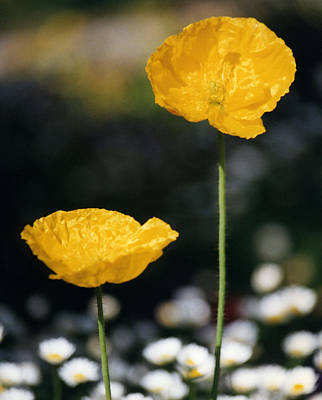 Photograph - Yellow Poppies by Robert Lozen