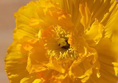Yellow Poppy Art Print by Bonita Hensley