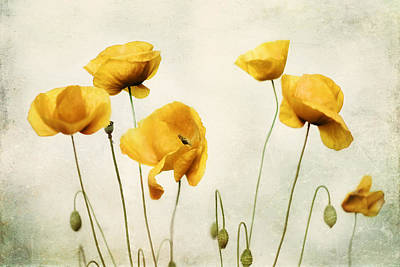 Yellow Poppy Photography - Yellow Poppies - Yellow Flowers - Olive Green Yellow Floral Wall Art Print by Amy Tyler