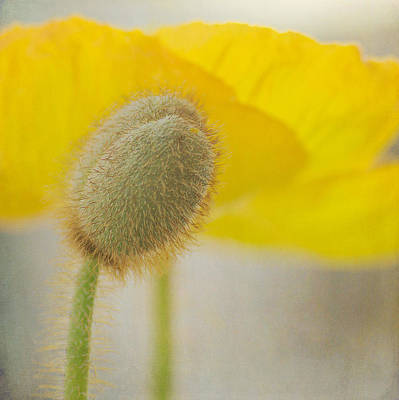 Photograph - Yellow Poppy Squared by Fraida Gutovich