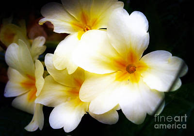 Photograph - Yellow Primrose by Nina Ficur Feenan
