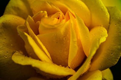 Photograph - Yellow Queen Of The Garden. Yellow Rose by Jenny Rainbow