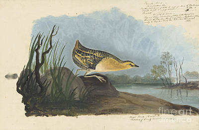Drawing - Yellow Rail  by Celestial Images