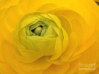 Yellow Ranunculus  Art Print