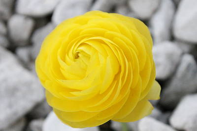Andrea Grist Wall Art - Photograph - Yellow Ranunculus by Andrea K Grist