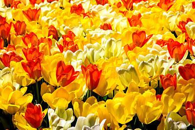 Yellow Red And White Tulips Art Print by Menachem Ganon