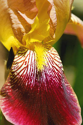 New Years Royalty Free Images - Yellow Red Iris Flower Royalty-Free Image by Keith Webber Jr