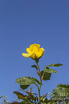 Photograph - Yellow Rose 01 by Brian Roscorla