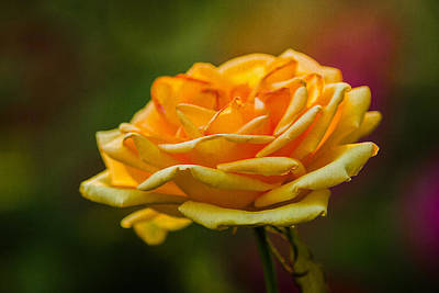 Single Rose Stem Photograph - Yellow Rose 2 by Alexander Senin