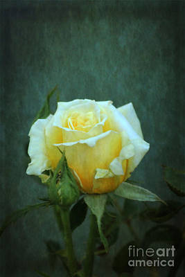Photograph - Yellow Rose 2014 by Marjorie Imbeau