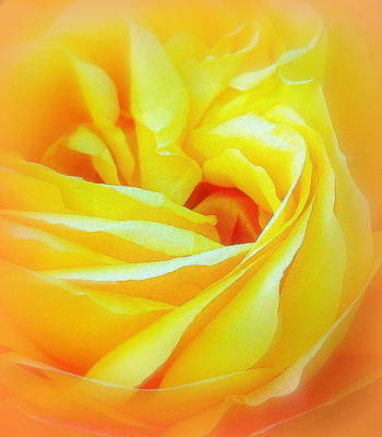 Photograph - Yellow Rose Abstracted by Paula Tohline Calhoun