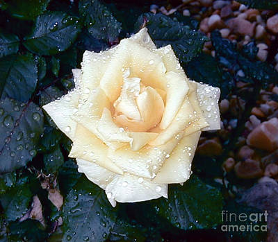 Art Print featuring the photograph Yellow Rose At Dawn by Alys Caviness-Gober