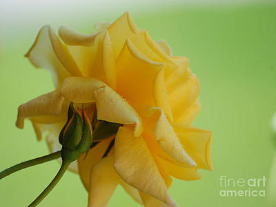Photograph - Yellow Rose by Bianca Nadeau