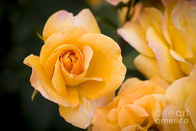Photograph - Yellow Rose by Brian Jannsen