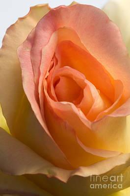 Photograph - Yellow Rose Bud by Sarah Schroder
