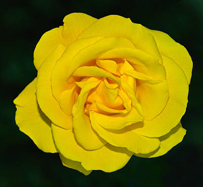 Photograph - yellow rose but not of Texas by Baato