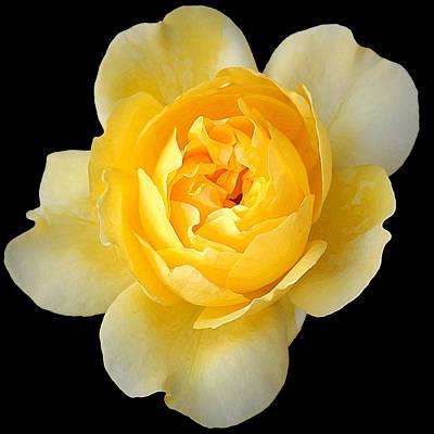 Yellow Rose Art Print by CarolLMiller Photography